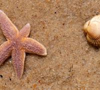 Muschel und Seestern
